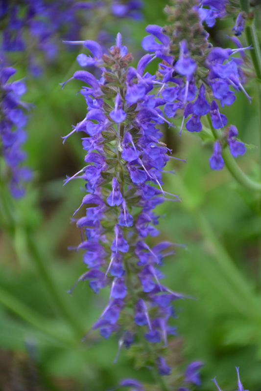 May Night Sage (Salvia x sylvestris 'May Night') at Franz Witte